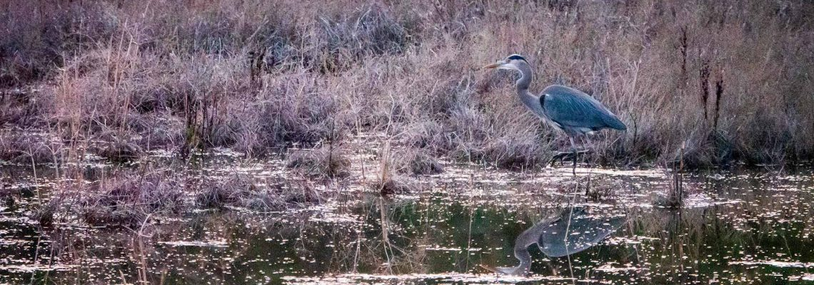 Blue heron and its reflection in marshy waters