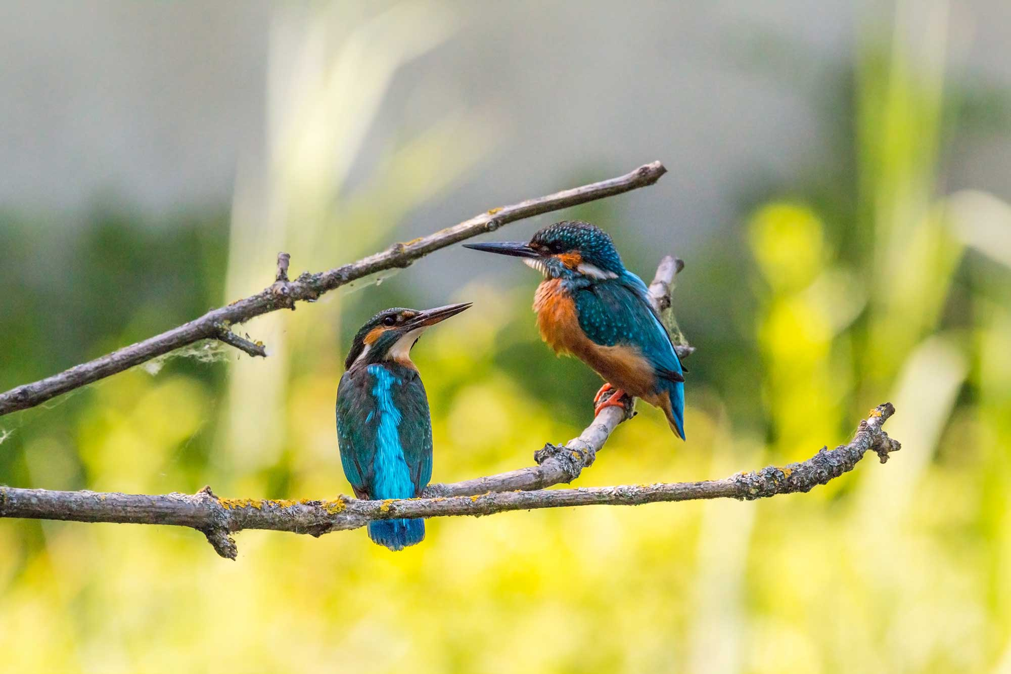 Two kingfisher birds on a tree branch